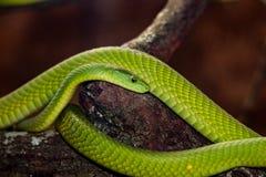 Una bella mamba verde immagini stock