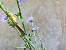 Una bella mattina e decisivo di raccogliere i bei fiori della montagna & bello trattore a cingoli immagini stock