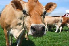 Una bella mucca marrone della Jersey Immagine Stock