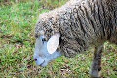 Una bella pecora in primo piano immagini stock libere da diritti