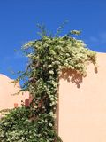 Una bella pianta di fioritura sulle pareti di architettura egiziana fotografie stock