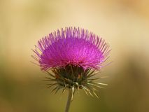Una bella pianta porpora del cardo selvatico nella luce del giorno pezzata Fotografia Stock