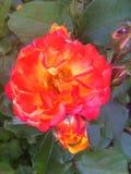 Una bella rosa, come lava da un vulcano, mattina, Odessa, 2017 Immagini Stock