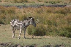Una bella zebra maschio che pasce lungo il fiume di Chobe fotografia stock libera da diritti