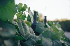 Una bottiglia del nero sui precedenti delle foglie dell'uva, nelle foglie, sulla via vigna nella campagna naughty fotografie stock libere da diritti