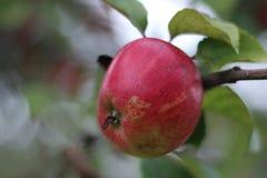 Una buena manzana del eco en una rama de árbol imagen de archivo libre de regalías