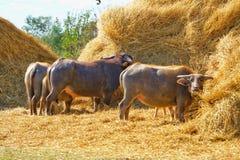 Una Buffalo che mangia la paglia asciutta della pila Fotografia Stock Libera da Diritti