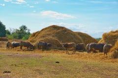 Una Buffalo che mangia la paglia asciutta della pila Fotografie Stock Libere da Diritti