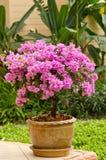 Una buganvillea rosa Fotografie Stock Libere da Diritti