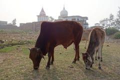 Una Bull y un becerro pastan por un templo Imagen de archivo libre de regalías