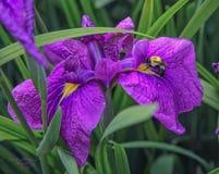 Una bumbly-abeja que huele hacia fuera el potencial del polen del iris imagen de archivo libre de regalías