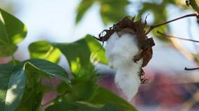 Una cápsula del algodón Fotos de archivo
