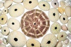 Una cáscara enorme del erizo de mar rodeó por las más pequeñas foto de archivo libre de regalías