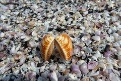 Una cáscara grande del mar que miente en una pila de cáscaras Imagen de archivo libre de regalías