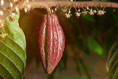 Una caída de la vaina del cacao en rama Imagenes de archivo
