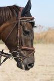 Una cabeza de caballo en el aire abierto con un fondo del cielo azul y de la hierba amarilla Fotografía de archivo