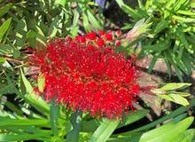 una cabeza de flor de punta, roja de Callistemon Fotografía de archivo libre de regalías