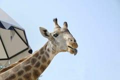 Una cabeza de la jirafa y un cielo azul Foto de archivo libre de regalías
