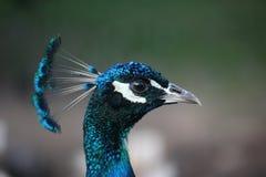 Una cabeza del pavo real Imágenes de archivo libres de regalías