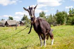 Una cabra Imagen de archivo