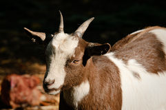 Una cabra Foto de archivo libre de regalías