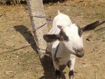 Una cabra Imagenes de archivo