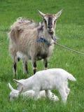 Una cabra adulta con una barba y dos cabras blancas jovenes pastan fotografía de archivo
