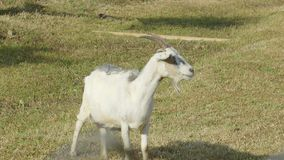 Una cabra blanca que se coloca en la granja parece que busca algo, Tailandia almacen de video