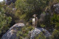 Una cabra blanca solitaria con una campana alrededor del cuello en las montañas Fotografía de archivo