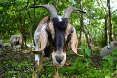 Una cabra Cámara-feliz Imagen de archivo