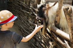 Una cabra de billy que come fuera de la mano de un muchacho joven Fotografía de archivo