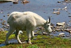 Una cabra de montaña blanca y un lago glacial Fotos de archivo libres de regalías