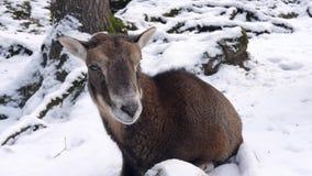 Una cabra de montaña en invierno almacen de metraje de vídeo