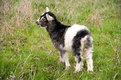 Una cabra del niño está pastando en la hierba Fotos de archivo libres de regalías