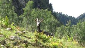 Una cabra en la montaña Foto de archivo