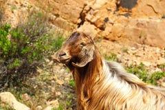 Una cabra en la montaña Fotos de archivo