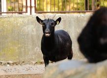 Una cabra enana africana hermosa, aegagrus del capra, colocándose y balando en mí mirada de la cámara Colocación en parque fotografía de archivo