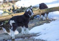 Una cabra enana en invierno en un ciervo alemán parquea Imágenes de archivo libres de regalías