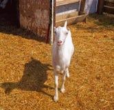 Una cabra joven, inquisitiva en una yarda del ganado Fotografía de archivo