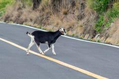 Una cabra negra cruza un camino fotografía de archivo