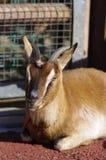 Una cabra para Kebab o sacia Imagenes de archivo