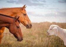 Una cabra que bala y dos caballos Foto de archivo libre de regalías
