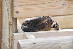 Una cabra que enarbola Foto de archivo