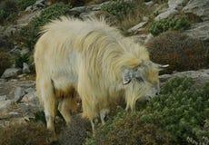 Una cabra que pasta Imagen de archivo libre de regalías