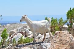Una cabra que tiene plumas blancas imagenes de archivo