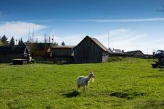 Una cabra solitaria que pasta en el campo Imagen de archivo libre de regalías