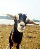 Una cabra sonriente en el campo imagenes de archivo