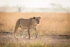 Una caccia africana nel Serengeti, Tanzania della leonessa Fotografie Stock