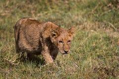 Una caccia del gattino del leone Immagine Stock