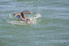 Una caccia del pesce del pellicano Immagini Stock